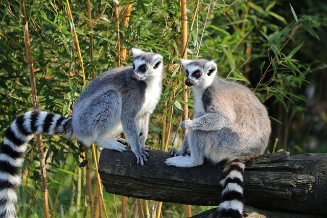 Lemur catta en parc zoologique