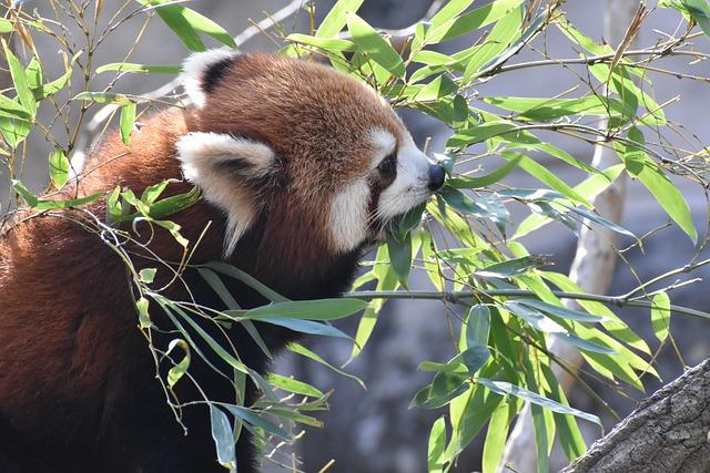 Panda roux en parc zoologique