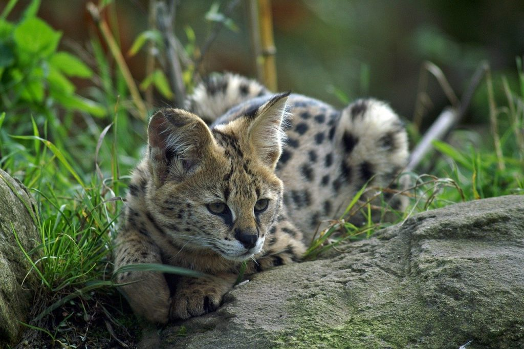 serval en captivité