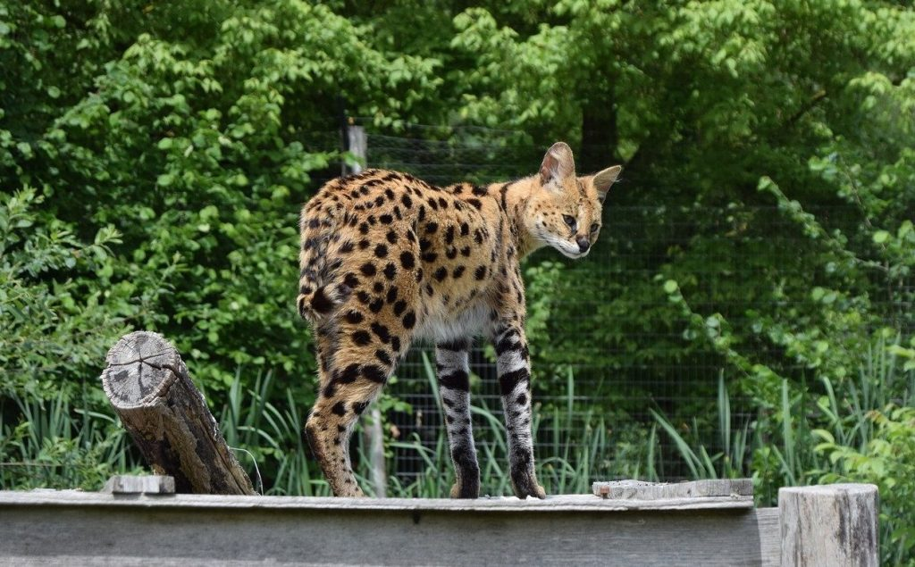 Serval enclos