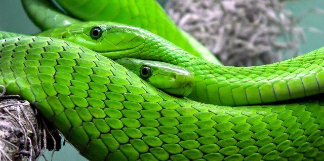 mamba vert serpent venimeux
