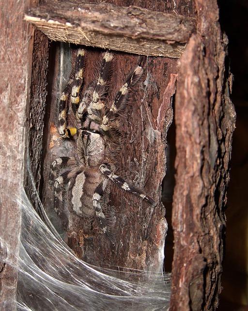 mygale en terrarium