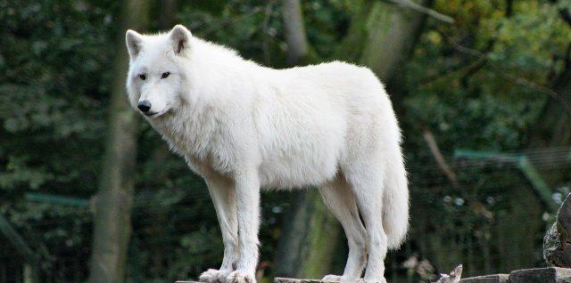 loup dans un zoo